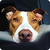 Adopt A Pet :: Kona~meet me! - Glastonbury, CT
