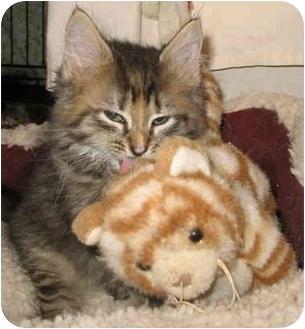 Domestic Longhair Kitten for adoption in Cincinnati, Ohio - Phoebe