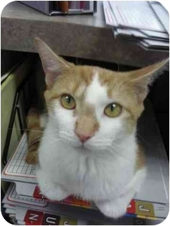 Domestic Shorthair Cat for adoption in Staten Island, New York - Tiger