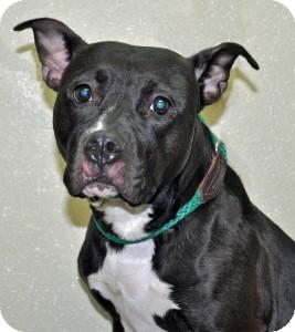 Pit Bull Terrier Dog for adoption in Port Washington, New York - Pearl
