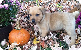 Boxer Mix Puppy for adoption in Chattanooga, Tennessee - Tripp