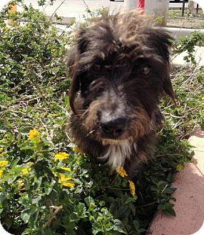 Dachshund Mix Dog for adoption in Houston, Texas - Sampson