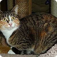 Domestic Shorthair Cat for adoption in Carmel, New York - Toni