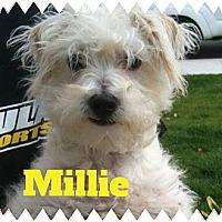 Adopt A Pet :: MILLIE - Mission Viejo, CA