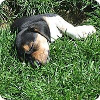 Adopt A Pet :: Velvety - Novi, MI