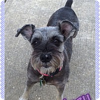 Adopt A Pet :: Izzy - Sharonville, OH