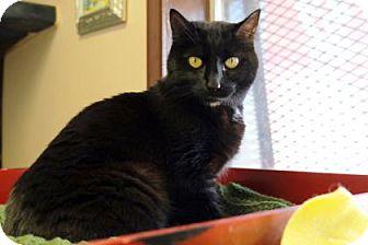 Domestic Shorthair Cat for adoption in Bellevue, Washington - Midnight