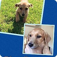 Adopt A Pet :: Blondie - Scottsdale, AZ