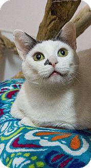 Domestic Shorthair Cat for adoption in Seattle, Washington - Freesia