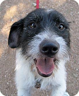 Petit Basset Griffon Vendeen/Basset Hound Mix Puppy for adoption in Georgetown, Texas - Shiner