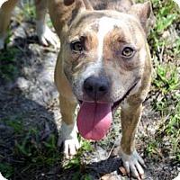 Adopt A Pet :: Daisy - Bradenton, FL