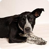 Adopt A Pet :: Jacinda Heeler - St. Louis, MO