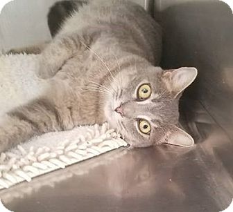 Domestic Shorthair Kitten for adoption in Umatilla, Florida - Mercy