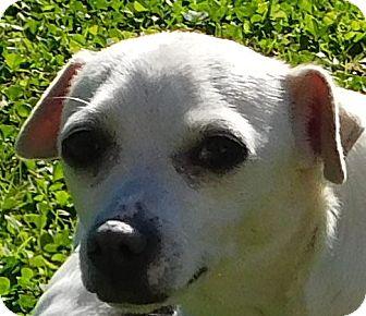 Chihuahua Dog for adoption in MINNEAPOLIS, Kansas - Peaches