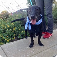 Labrador Retriever Mix Dog for adoption in Houston, Texas - Elmo