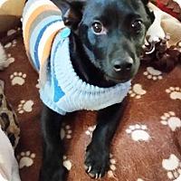 Adopt A Pet :: Shadow-A - Concord, CA