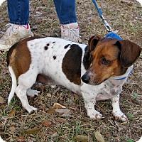 Adopt A Pet :: Wiener - Georgetown, TX