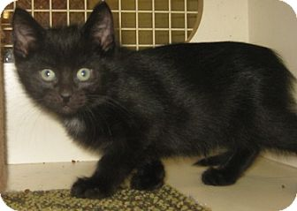 British Shorthair Kitten for adoption in Dallas, Texas - Devon