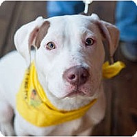 Adopt A Pet :: Bowser - Reisterstown, MD