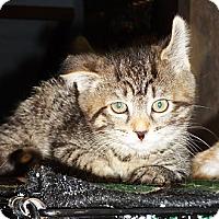 Adopt A Pet :: Maya - N. Billerica, MA