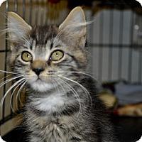 Adopt A Pet :: Fuzzy (long haired kitten) - New Smyrna Beach, FL
