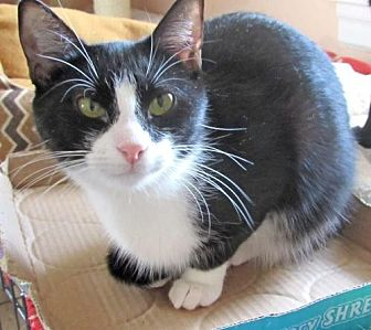 Domestic Shorthair Kitten for adoption in Devon, Pennsylvania - Dolby
