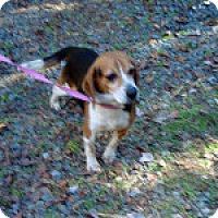 Adopt A Pet :: Bullwinkle - Dumfries, VA