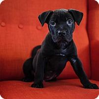 Adopt A Pet :: Ty - Los Angeles, CA