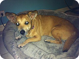 Pembroke Welsh Corgi/Basset Hound Mix Dog for adoption in Tampa, Florida - Ellie