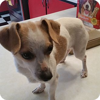 Chihuahua/Dachshund Mix Dog for adoption in TAHOKA, Texas - PENELOPY