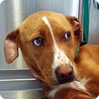 Adopt A Pet :: Dolly - Bloomington, IL