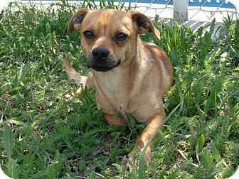 Chihuahua Mix Dog for adoption in Cut Bank, Montana - Flicker