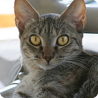 Domestic Shorthair Cat for adoption in North Fort Myers, Florida - Squirril