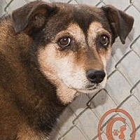 Corgi/Beagle Mix Dog for adoption in Evergreen, Colorado - Tinkerbell goes w/Nugget - courtesy listing