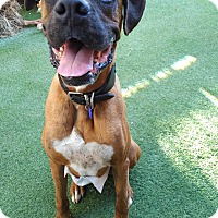 Adopt A Pet :: Boxer Champ - Hermosa, CA
