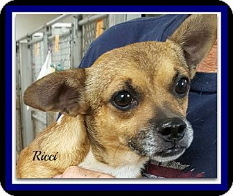 Chihuahua/Pug Mix Dog for adoption in Tombstone, Arizona - Ricci