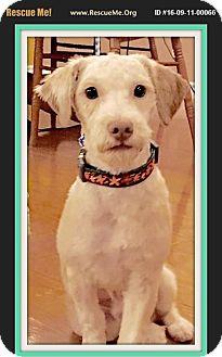 Miniature Poodle Dog for adoption in Murrieta, California - Jasper