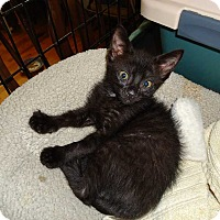 Domestic Shorthair Kitten for adoption in Central Islip, New York - Dodger