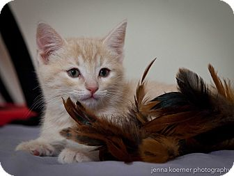Domestic Shorthair Kitten for adoption in Los Angeles, California - Miracle
