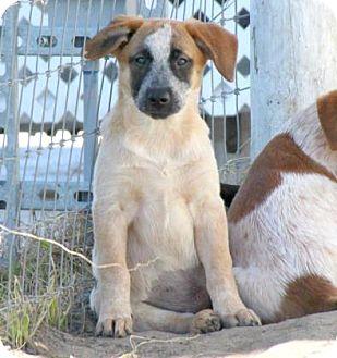 Australian Cattle Dog Mix Puppy for adoption in Loxahatchee, Florida - Streusel