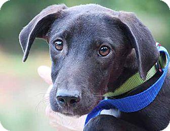 Labrador Retriever/Terrier (Unknown Type, Medium) Mix Puppy for adoption in South Bend, Indiana - Wyatt