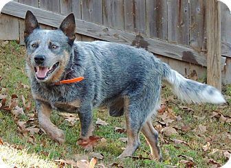 Australian Cattle Dog Mix Dog for adoption in Joplin, Missouri - Malcolm