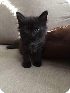 Domestic Longhair Kitten for adoption in Fenton, Missouri - Tiny