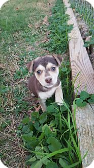Beagle/Terrier (Unknown Type, Small) Mix Puppy for adoption in Glastonbury, Connecticut - Jolene~adopted!