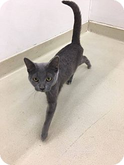Domestic Shorthair Cat for adoption in Frankfort, Illinois - Xena