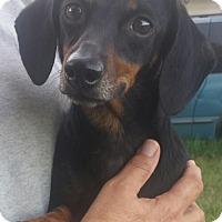 Adopt A Pet :: Cissy- Dachshund- - Gaffney, SC