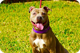 American Staffordshire Terrier Mix Dog for adoption in Calgary, Alberta - Hazel