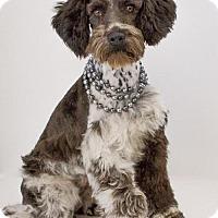 Adopt A Pet :: Belle - Phelan, CA