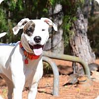 Adopt A Pet :: Stevie - Willingboro, NJ