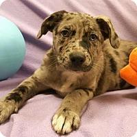 Adopt A Pet :: Flirt - Modesto, CA